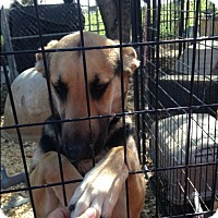 German Shepherd Dog Mix Dog for adoption in Fort Worth, Texas - Kati