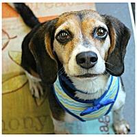 Adopt A Pet :: Princess Jasmin - Forked River, NJ