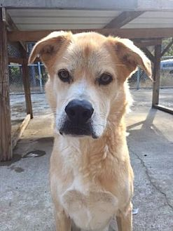 Shepherd (Unknown Type)/Labrador Retriever Mix Dog for adoption in Pt. Richmond, California - BODIE