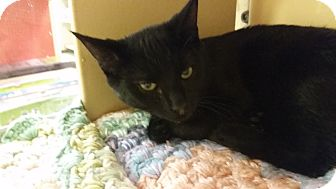 Domestic Shorthair Kitten for adoption in Manchester, Connecticut - Jackson Avery (in CT)