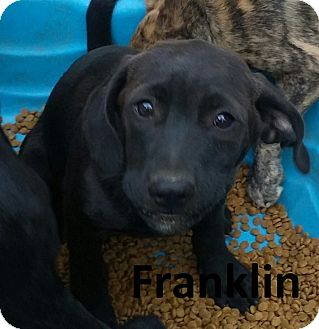 Labrador Retriever/Hound (Unknown Type) Mix Puppy for adoption in Augusta, Maine - Franklin
