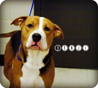 Pit Bull Terrier/Beagle Mix Dog for adoption in Defiance, Ohio - Benji