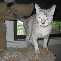 Siamese Cat for adoption in San Antonio, Texas - Rachel