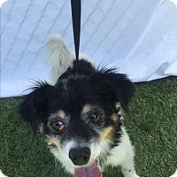 Adopt A Pet :: Oscar - Chula Vista, CA