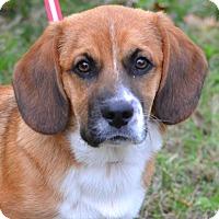 Adopt A Pet :: Bingo - Enfield, CT