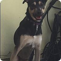 Adopt A Pet :: BELLA ROSE - Fort Lauderdale, FL