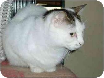 Domestic Shorthair Cat for adoption in Pascoag, Rhode Island - Priscilla