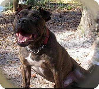 Bulldog Mix Dog for adoption in Saint Augustine, Florida - Rocky