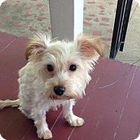 Adopt A Pet :: Falcor - Sinking Spring, PA