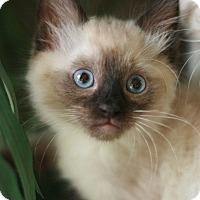 Adopt A Pet :: Puff - Canoga Park, CA