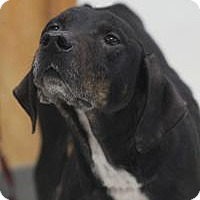 German Shorthaired Pointer Mix Dog for adoption in Yukon, Oklahoma - Utah