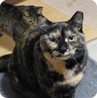 Domestic Shorthair Cat for adoption in Gaithersburg, Maryland - Socks