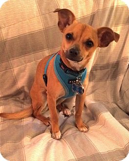 Chihuahua Mix Dog for adoption in Mt. Prospect, Illinois - Lia