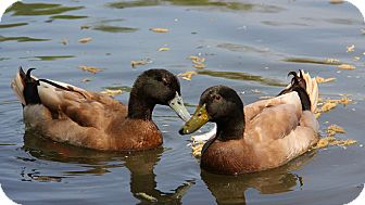 Duck for adoption in Saugerties, New York - Dylan and Jack