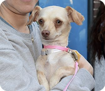 Chihuahua Mix Dog for adoption in New York, New York - Lori