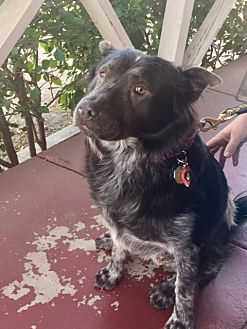 Australian Shepherd/Chow Chow Mix Dog for adoption in Rancho Palos Verdes, California - GiGi