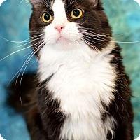 Domestic Mediumhair Cat for adoption in Warren, Michigan - Serena