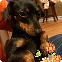 Adopt A Pet :: Suzy Q - Aurora, CO