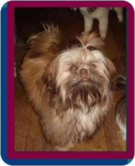 Shih Tzu Dog for adoption in Berlin, Wisconsin - Filbert