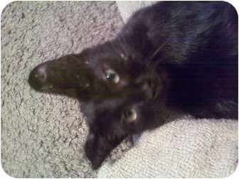 Domestic Shorthair Kitten for adoption in Fort Lauderdale, Florida - Baby Rayche