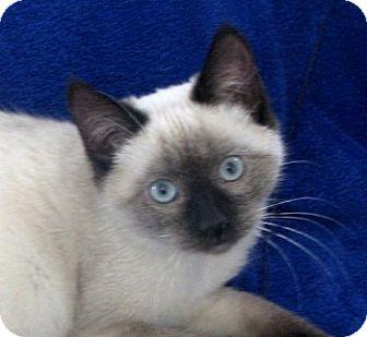 Siamese Kitten for adoption in Davis, California - Paisley