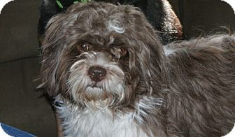 Havanese/Shih Tzu Mix Dog for adoption in Rockaway, New Jersey - Swifter