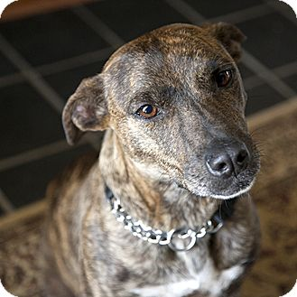 Mountain Cur/Border Collie Mix Dog for adoption in Conyers, Georgia - Lacey