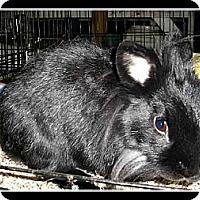 Adopt A Pet :: Charlie the Lionhead - Williston, FL