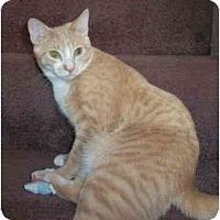 Adopt A Pet :: Cinco - Reston, VA