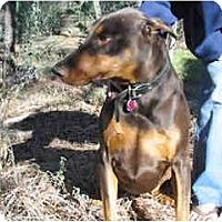 Adopt A Pet :: ZEUS, courtesy list - Scottsdale, AZ