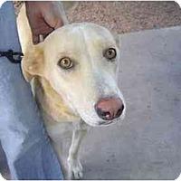 Adopt A Pet :: Kyra - Mesa, AZ