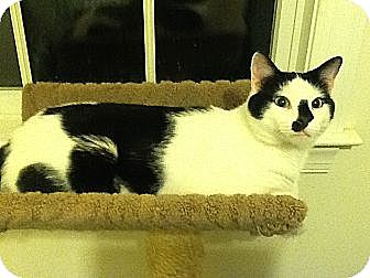 Domestic Shorthair Cat for adoption in New York, New York - Cubby