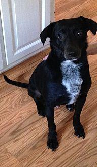 Labrador Retriever/Terrier (Unknown Type, Medium) Mix Dog for adoption in Harrison, New York - Coal