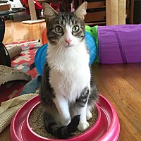 Domestic Shorthair Cat for adoption in Los Angeles, California - Beamish