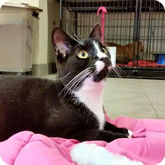 Domestic Shorthair Cat for adoption in Sewaren, New Jersey - Slinky