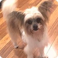 Adopt A Pet :: Sugar Cookie - Atlanta, GA