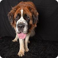 Adopt A Pet :: Merle - Van Nuys, CA