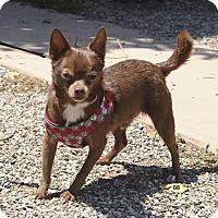 Adopt A Pet :: Archie - Santa Barbara, CA