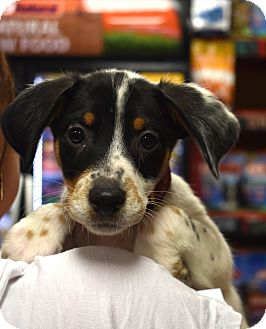 Jack Russell Terrier/Beagle Mix Puppy for adoption in Hagerstown, Maryland - Banks