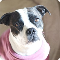 Adopt A Pet :: Bella Rousse - Greeley, CO