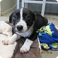 Corgi/Collie Mix Puppy for adoption in BLACKWELL, Oklahoma - Jasper