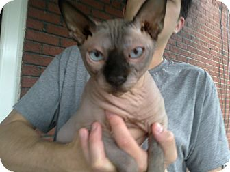 Sphynx Cat for adoption in Cumberland, Maryland - Baxter