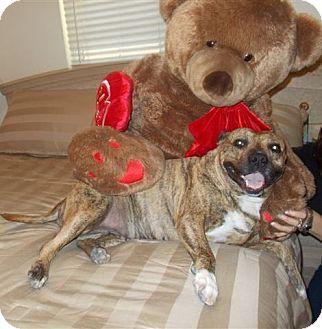 Staffordshire Bull Terrier/Boxer Mix Dog for adoption in Phoenix, Arizona - BRANDY