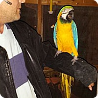 Macaw for adoption in HOUSTON, Texas - ROCK0