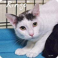 Adopt A Pet :: Ringo - Ocean City, NJ