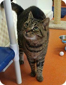 Domestic Shorthair Cat for adoption in Canastota, New York - Leon