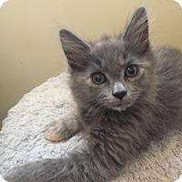 Domestic Mediumhair Kitten for adoption in Burbank, California - Anya