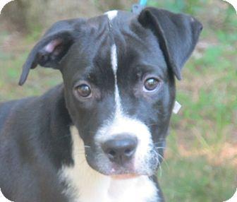 Boxer/Cocker Spaniel Mix Puppy for adoption in Harrisonburg, Virginia - Rocky
