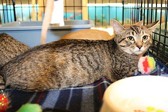 Domestic Shorthair Kitten for adoption in Rochester, Minnesota - Libby