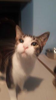 Domestic Shorthair Kitten for adoption in Livonia, Michigan - Calvin